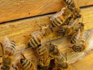 picture of bees producing honey in a beehive